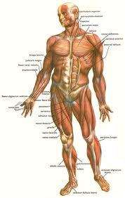 анатомски приказ човечјег тела